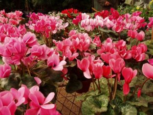 Cyclamen ready for holiday decor. (Photo by Fanghong from Wikipedia Creative Commons)