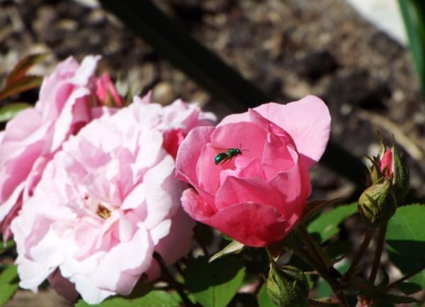 Where: Stonewall, MB | When: July 2017 | What: Explorer rose (John Cabot) with green sweat bee.  | Photo: Glenda O.