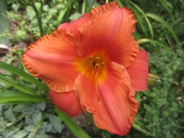 Where: Tilbury, ON | When: July 2017 | What: A daylily blooming in the backyard. | Photo: Katharine S.