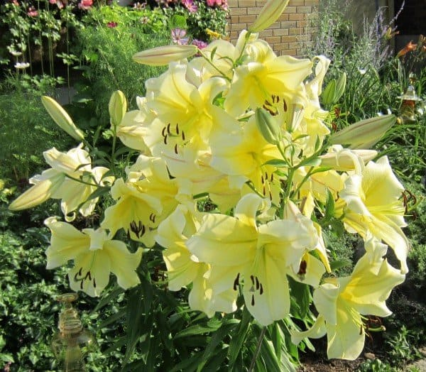 Where: Peterborough, ON | When: August 2017 | What: A very fragrant Big Brother lily. | Photo:  Calvin S.