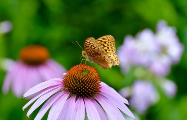 Where: Schomberg, ON | When: August 2017 | What: A butterfly on purple coneflowers. | Photo: Debra L.