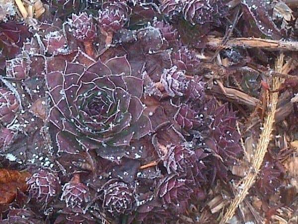 Where: Hammonds Plains, NS | When: December 2016 | What: A light snow was falling as I was enjoying a walk around the gardens and observed a clump of Hens n Chicks with the petal rings outlined with snow that only Mother Nature could detail. | Photo: Heather P.