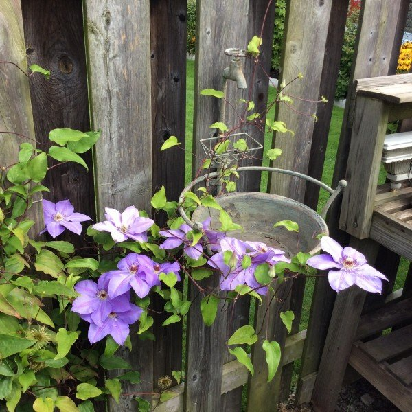 Where: Welland, ON | When: August 2017 | What: Clematis. | Photo: Henry O.