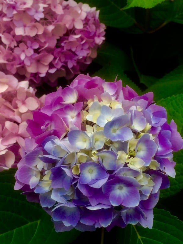 Where: Toronto, ON | When: August 2017 | What: Hydrangea. | Photo: Dolores G.