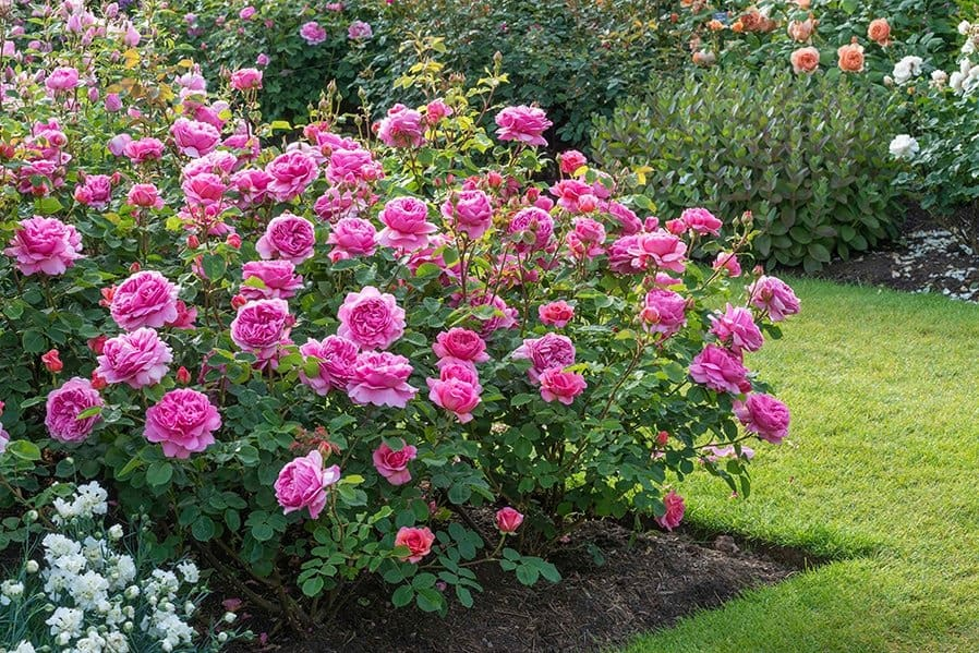 Win a david austin english rose for Garden design ideas kent
