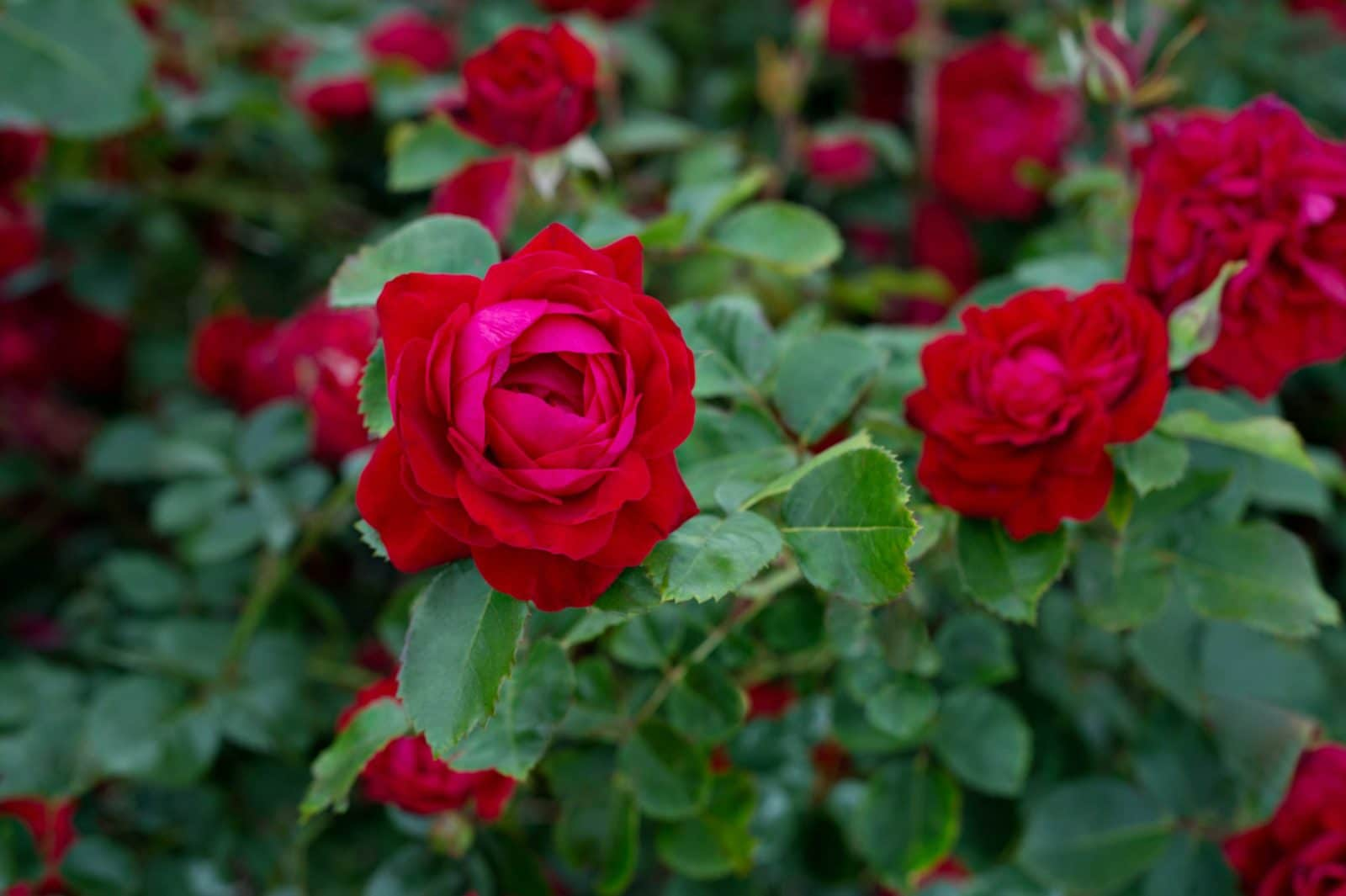 canada blooms features new canadian shield rose