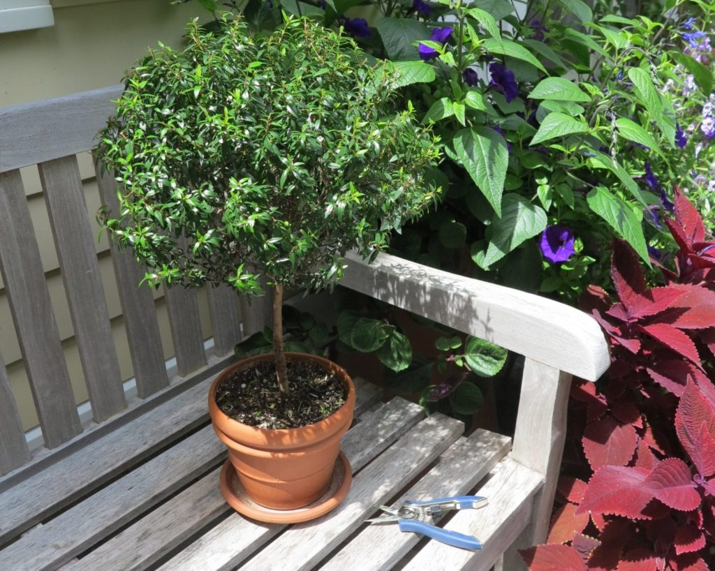 A small Greek myrtle plant is easy to train as a topiary.