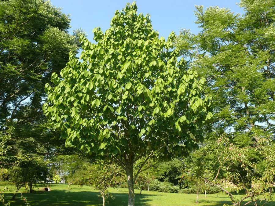 Paw paw tree (Photo from Ontario Ministry of Agriculture, Food & Rural Affairs)