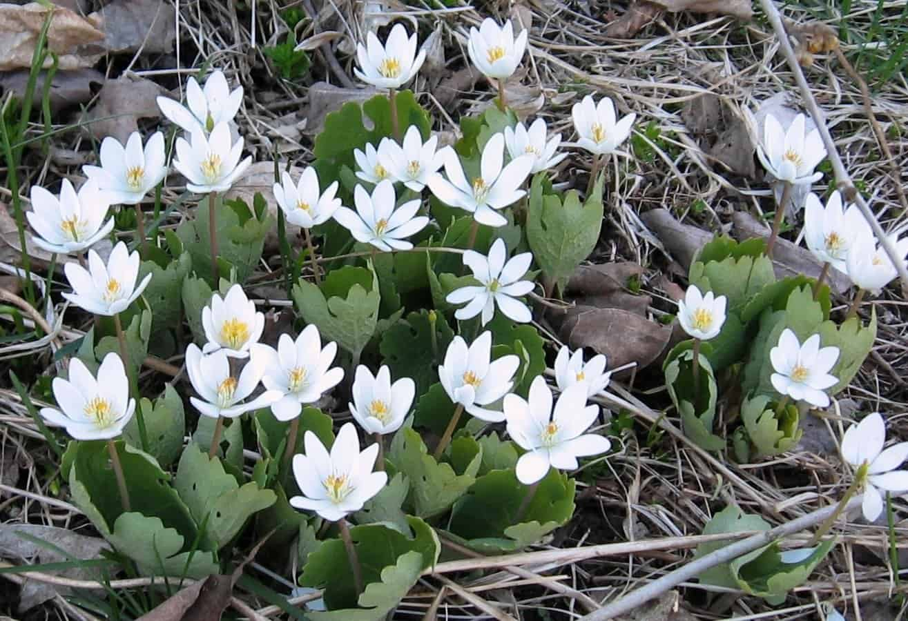 Native Canadian Flowers For Early Spring