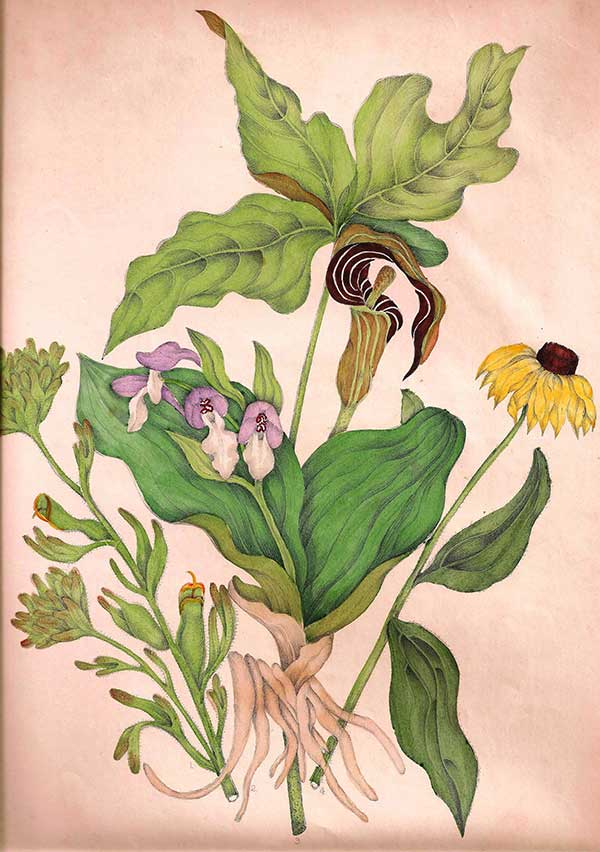 Illustration from 1868 edition of Canadian Wild Flowers by Catharine Parr Traill (left to right): Scarlet painted cup (Castilleja coccinea) Showy orchid (Galearis spectabilis) Jack-in-the-pulpit (Arisaema triphyllum) Black-eyed Susan (Rudbeckia fulgida)