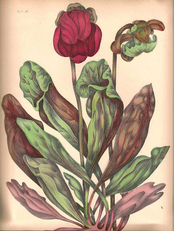 Illustration from 1895 edition of Canadian Wild Flowers by Catharine Parr Traill: Purple pitcher plant (Sarracenia purpurea)