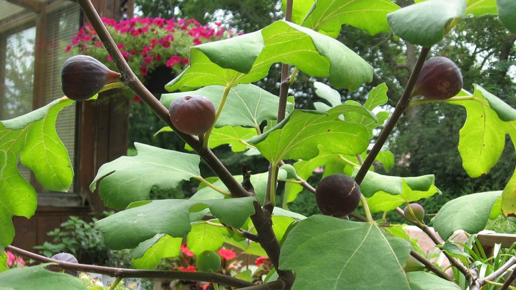 Chicago Hardy' figs in Beaverton,- Ontario, in August 2017 (Photos by Stephen Westcott-Gratton)