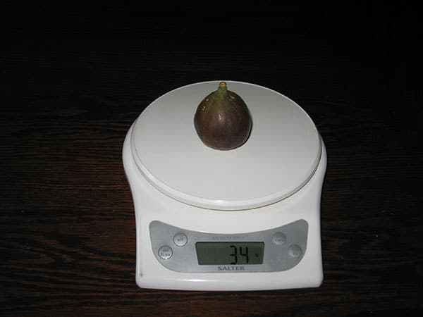 Weigh-in of a freshly harvested fig.