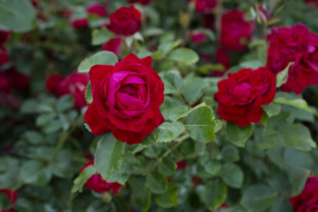 Canadian Shield, a vivid red landscape rose with glossy green foliage, is the first in a new series of easy-to-grow roses called the 49th Parallel Collection .