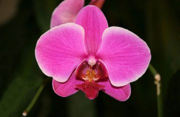 Orchid Phalaenopsis hybrid (Photo by Arad Mojtahedi of Montreal via Creative Commons.)