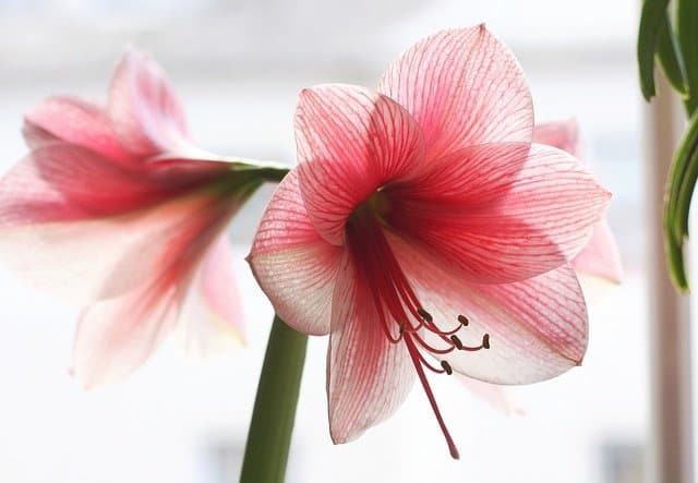 Amaryllis in bloom (Photo from Flickr by Maja Dumat)