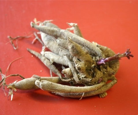 A plump dahlia root stored over the winter, ready for spring planting. (Photo by Dugald Cameron)