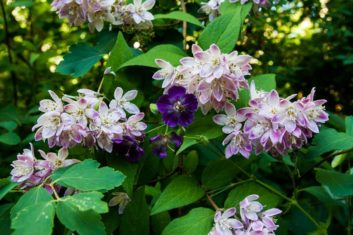 'Strawberry Fields' deutzia and Geranium phaeum. (Photo by Brendan Zwelling)