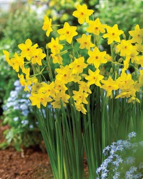 'Baby Boomer' daffodils (Photo courtesy of Veseys)