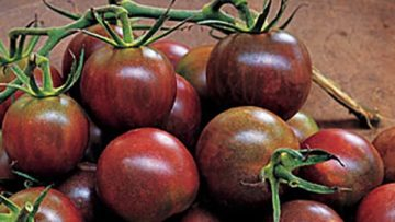 Black Pearl Hybrid tomato (Photo from Burpee.com)