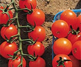 Sweet orange cherry tomatoes (Photo from Stokes Seeds)