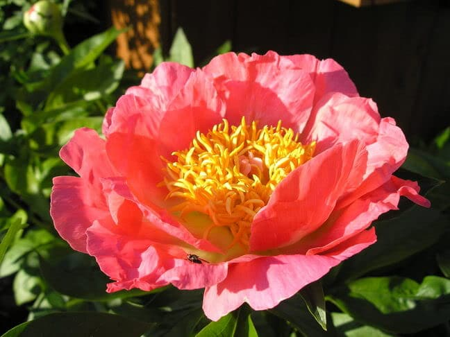 'Coral and Gold' peony. Photo courtesy of Blossom Hill Nursery.