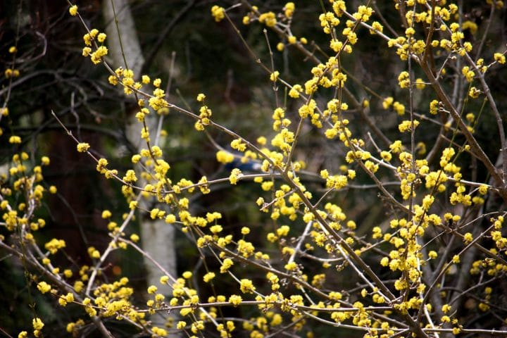 Cornelian cherry (Cornus mas) tree