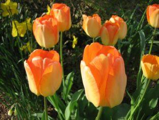 'Daydream' Darwin tulip (Garden Making photo)