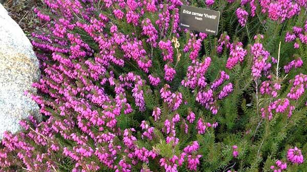 Heath in bloom at Denver Botanic Garden.