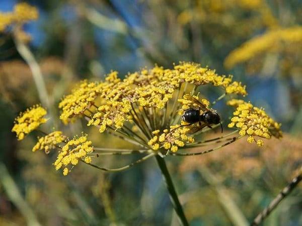 Pollinator on fennel