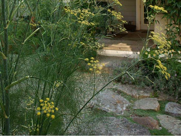 Fennel growing with ornamental flowers (Photos by Carol Pope)