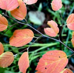 'Mount Airy' fothergilla's fall foliage is a lovely shade of orange-apricot. (Photo by Brendan Zwelling)
