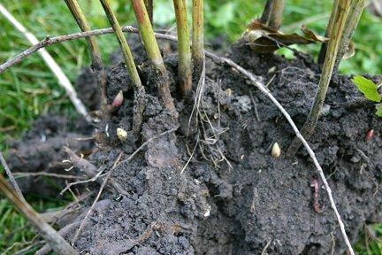 A freshly dug peony root.