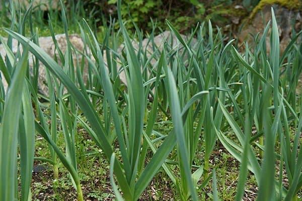 Garlic garden (Photo by Carol Pope)