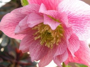 Hellebores grow well in dry, shady gardens. (Photo by Joanne Young)