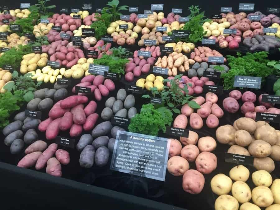 Potatoes at Chelsea Flower Show