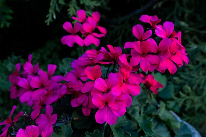 Ivy geranium Caliente Hot Coral (Photo by Brendan Zwelling)