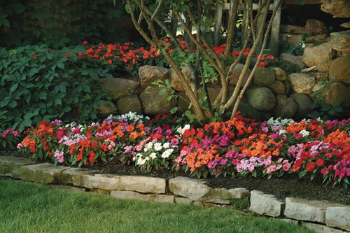 Fortunately, New Guinea impatiens is resistant to downy mildew. (Photo from Veseys.com)