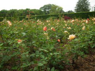 The rose garden at Niagara Parks Botanical Gardens