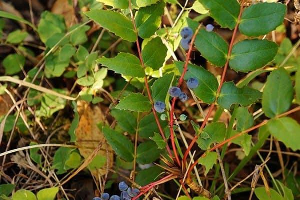 Oregon grape (Photo by Carol Pope)