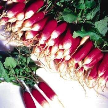 French breakfast radish bunches. Photo from Veseys.com