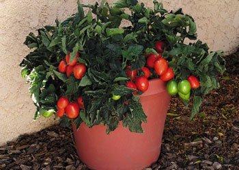 'Window Box Roma' tomatoes (Photo courtesy of Veseys Seeds)