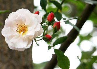 'Clair Matin' climbing rose (Photo by Brendan Adam-Zwelling)