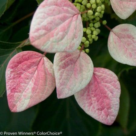 Rose Sensation hydrangea (Photo from Proven Winners)
