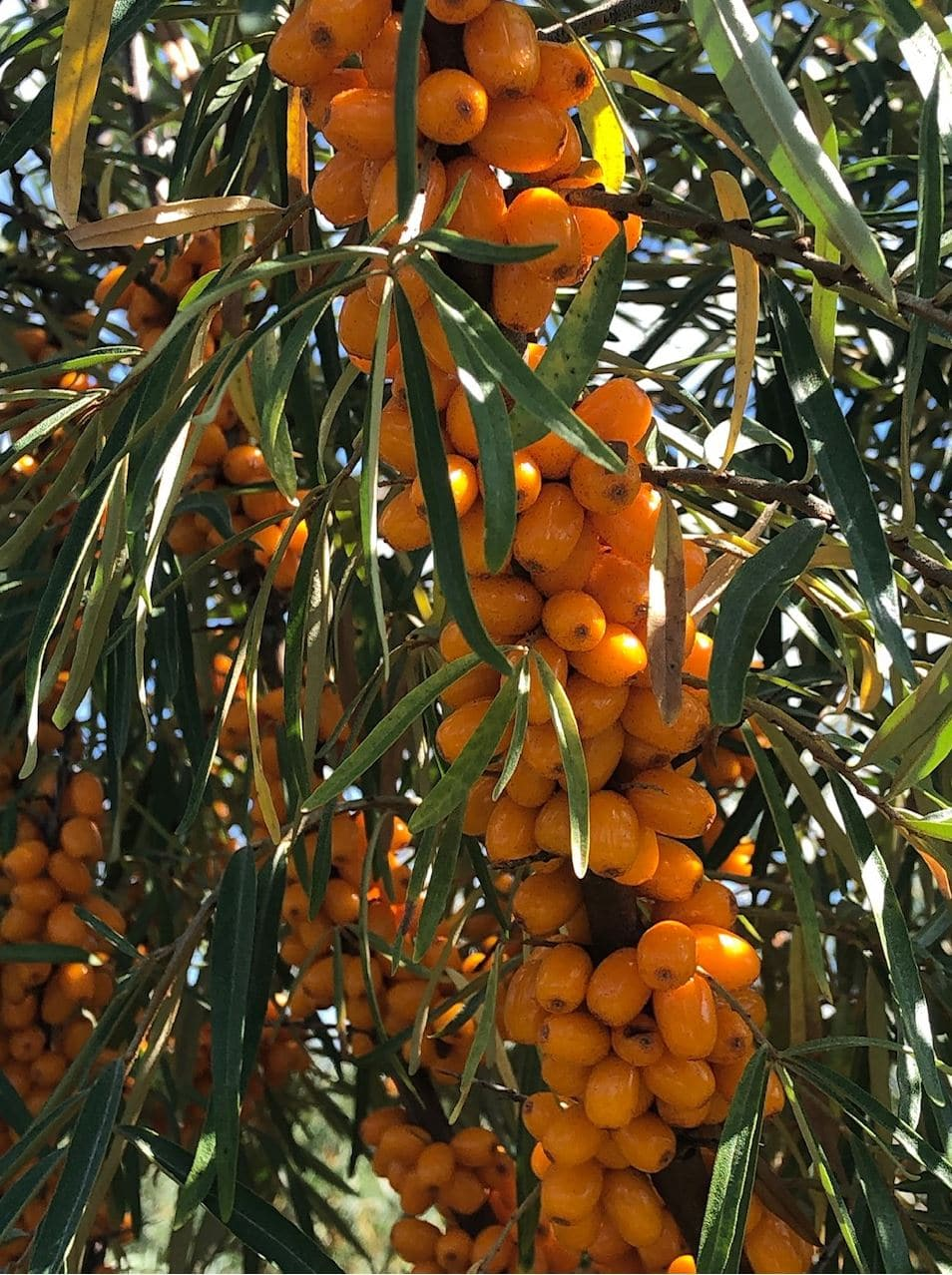 The Olive of the North: Seabuckthorn Trees