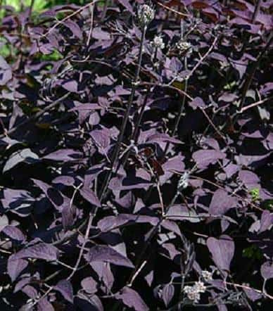 'Serious Black' clematis (Photo from LostHorizons)