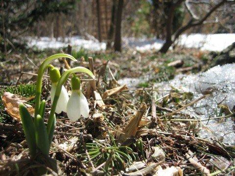 Snowdrops (Photo by Judith Adam)