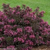 Spilled Wine weigela (Photo from Proven Winners)