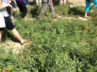 Walking through the masses of tomatoes in Stokes Seeds' trial gardens.