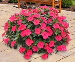 Sunpatiens Carmine Red New Guinea impatiens
